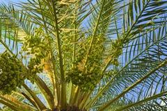 Palm met fruit op een achtergrond van blauwe hemel Stock Afbeelding