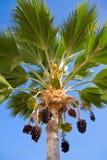 Palm met het hangen van clusters Royalty-vrije Stock Foto