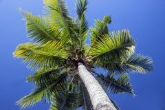 Palm met kokosnoten Stock Foto's