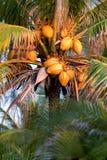 Palm met kokosnoten bij zonsondergang wordt gevuld die royalty-vrije stock afbeeldingen