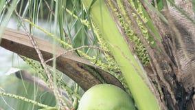 Palm met kokosnotenbijen en weelderige gebladerteclose-up stock videobeelden