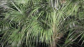 Palm met palmate bladeren stock footage