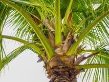 Palm met zijn kokosnoten met een grijze hemelachtergrond stock foto's