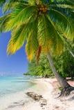 Palm, Moorea Stock Afbeelding