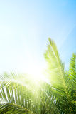 Palm and morning sun Stock Photography