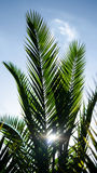 Palm Nature Royalty Free Stock Image
