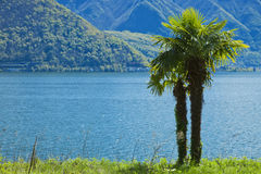 Palm near water, switzerland Stock Images