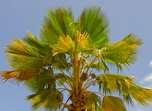 A palm nut tree in the caribbean Stock Photos