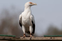 Palm-nut Vulture Royalty Free Stock Image