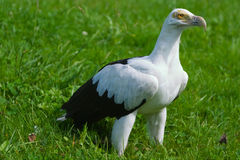 Palm-nut Vulture Stock Images