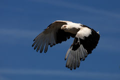 Palm-nut vulture in flight Stock Images