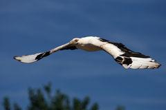 Palm-nut vulture in flight Stock Photography