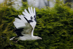 A Palm Nut Vulture flying past stock photography
