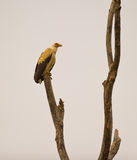 A Palm-nut vulture at his roosting place Royalty Free Stock Photography
