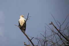 Palm Nut Vulture In Tree, Lake Manyara National Park, Tanzania Royalty Free Stock Photography