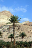 Palm oasis in Israeli desert. A view of the desert in Israel with a palm tree oasis in the foreground and parched desert hills in the distance Royalty Free Stock Image
