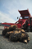 Palm Oil. Mature oil palm fruits after harvest ready to be sent to the mill with palm fruits picker truck Royalty Free Stock Photography