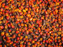 Palm oil fruit Stock Image