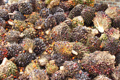 Palm Oil Fruits. Background of Palm Oil Fruits on the floor at Thailand Stock Photography