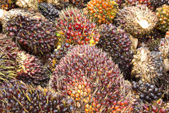 Palm Oil Fruits. Background of Palm Oil Fruits on the floor at Thailand Stock Images