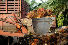 Palm Oil fruits Stock Image