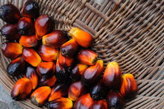 Palm Oil fruits Royalty Free Stock Images