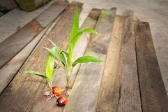 Palm Oil fruits Royalty Free Stock Photography