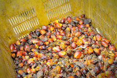 Palm Oil fruits Royalty Free Stock Photo