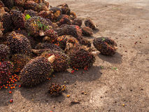 Palm Oil Fruits on the floor. Stock Photography