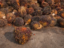 Palm Oil Fruits on the floor. Royalty Free Stock Image