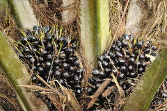 Palm oil fruits. Oil palm fruit bunches on oil palm tree in Malaysia Royalty Free Stock Photos