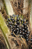 Palm oil fruits. Oil palm fruit bunches on oil palm tree in Malaysia Stock Photography