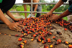 Palm Oil Fruits On The Floor Royalty Free Stock Image