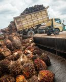Palm oil fruits. On palm plantation Royalty Free Stock Image