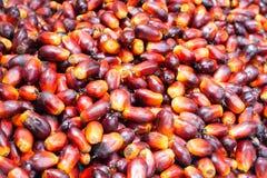 Palm oil fruits Stock Photos