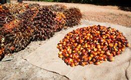 Palm oil fruits. On palm plantation Royalty Free Stock Image