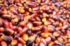 Palm oil fruits Stock Images