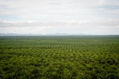 Palm oil plantation. Palm oil fruits on palm plantation Royalty Free Stock Images