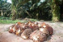 Palm oil plantation. Palm oil fruits on palm plantation Royalty Free Stock Photos