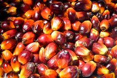 Palm oil fruits. On palm plantation royalty free stock photography