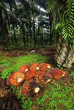 Palm Oil Fruits in Plantation Stock Photo