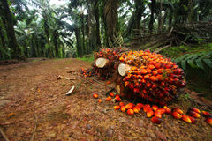 Palm Oil Fruits in Plantation Royalty Free Stock Photo