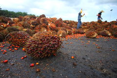 Palm Oil Industry Stock Images