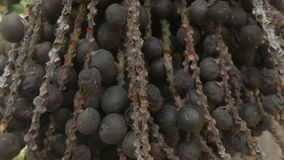 Palm oil nut for harvesting. Close-up palm oil nut for harvesting stock footage