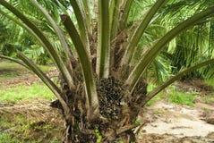 Palm Oil Plantation Stock Image