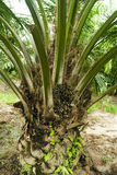 Palm Oil Plantation Stock Image