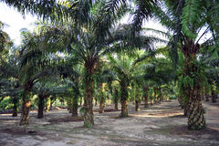 Palm Oil Plantation stock images