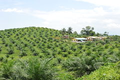 Palm oil plantation. In Malaysia,the world largest palm oil exporting country royalty free stock photo