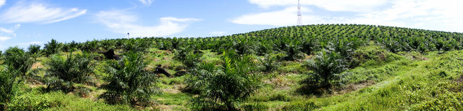 Palm oil plantation Stock Photos