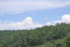 Palm oil plantation Royalty Free Stock Photos